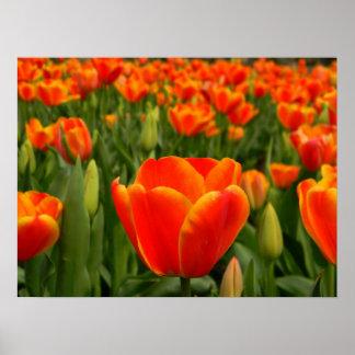 Placer 2 del tulipán póster