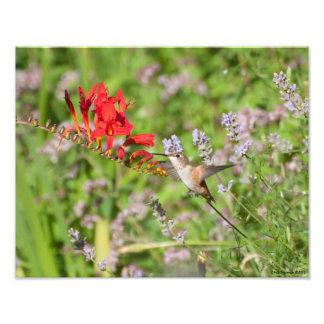 placer de los amantes del colibrí 11X14 Fotografías