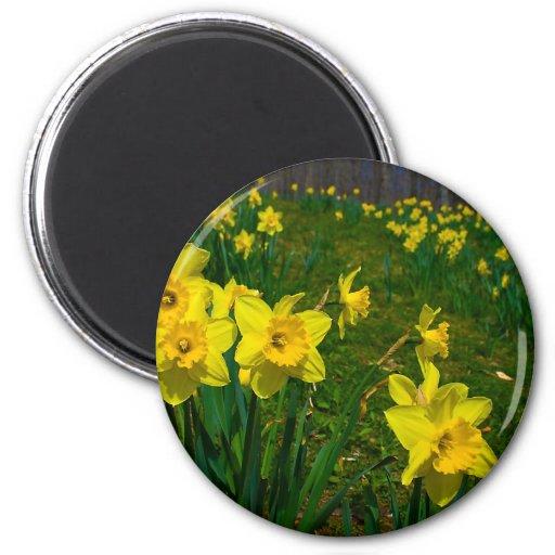 Placer del narciso imán para frigorifico
