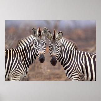 Plain Zebras, Kruger National Park Print