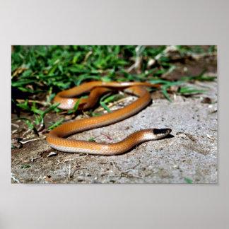 Plains Black-headed Snake Print