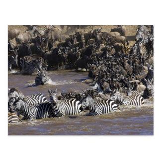 Plains Zebra (Equus quagga) and Blue Wildebeest Postcard