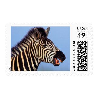 Plains Zebra (Equus Quagga) Calling Postage