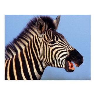 Plains Zebra (Equus Quagga) Calling Postcard