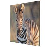 Plains zebra (Equus quagga) foal, Mkhuze Game Canvas Print