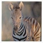 Plains zebra (Equus quagga) foal, Mkhuze Game Large Square Tile