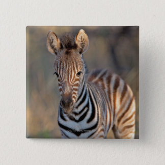 Plains zebra (Equus quagga) foal, Mkhuze Game Pinback Button