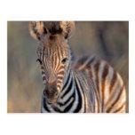 Plains zebra (Equus quagga) foal, Mkhuze Game Postcard