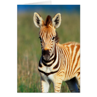Plains Zebra (Equus Quagga) Foal Portrait Card