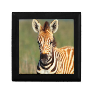 Plains Zebra (Equus Quagga) Foal Portrait Gift Box