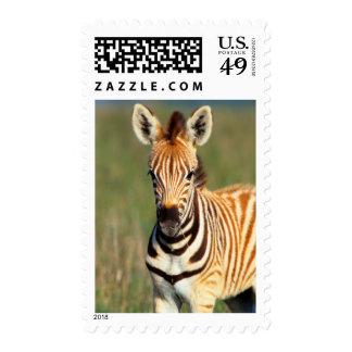 Plains Zebra (Equus Quagga) Foal Portrait Postage Stamp