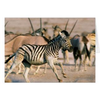 Plains Zebra (Equus Quagga) Foal Startled Greeting Card