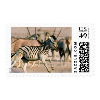 Plains Zebra (Equus Quagga) Foal Startled Postage