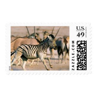 Plains Zebra (Equus Quagga) Foal Startled Postage