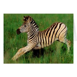 Plains Zebra (Equus Quagga) Foal Stretching Card