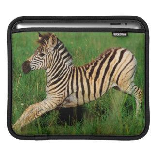 Plains Zebra (Equus Quagga) Foal Stretching iPad Sleeve