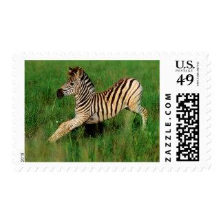 Plains Zebra (Equus Quagga) Foal Stretching Postage