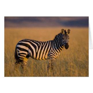 Plains Zebra Equus quagga) in grass, Masai Greeting Cards