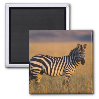 Plains Zebra Equus quagga) in grass, Masai Magnet