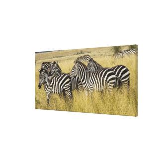 Plains Zebra (Equus quagga) in grass, Masai Mara 2 Canvas Print