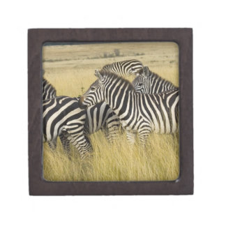 Plains Zebra (Equus quagga) in grass, Masai Mara 2 Gift Box