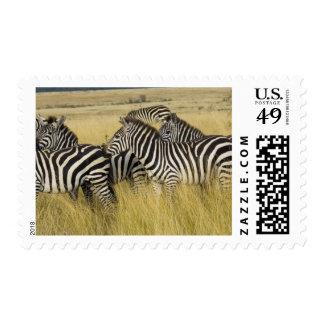 Plains Zebra (Equus quagga) in grass, Masai Mara 2 Stamps