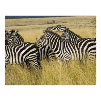 Plains Zebra (Equus quagga) in grass, Masai Mara 2 Postcards