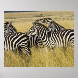 Plains Zebra (Equus quagga) in grass, Masai Mara 2 Posters