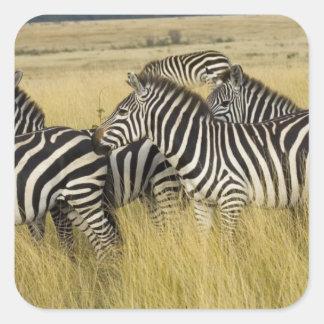 Plains Zebra (Equus quagga) in grass, Masai Mara 2 Square Sticker