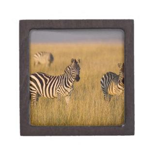 Plains Zebra (Equus quagga) in grass, Masai Mara Gift Box