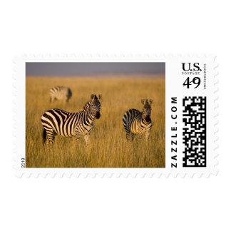 Plains Zebra (Equus quagga) in grass, Masai Mara Postage Stamp