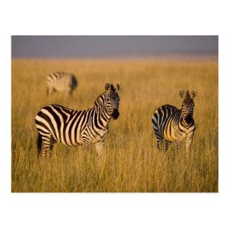 Plains Zebra (Equus quagga) in grass, Masai Mara Postcard
