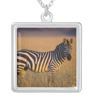 Plains Zebra Equus quagga) in grass, Masai Jewelry