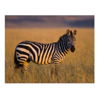 Plains Zebra Equus quagga) in grass, Masai Postcard