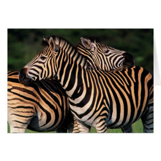 Plains Zebra (Equus Quagga) Pair Bonding, Tala Greeting Cards