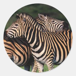 Plains Zebra (Equus Quagga) Pair Bonding, Tala Classic Round Sticker