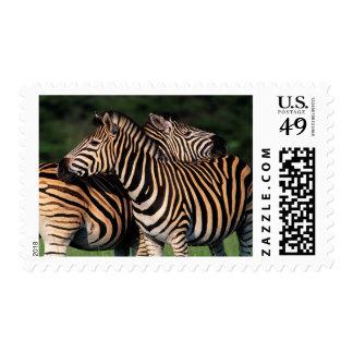 Plains Zebra (Equus Quagga) Pair Bonding, Tala Postage Stamp