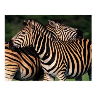 Plains Zebra (Equus Quagga) Pair Bonding, Tala Postcard