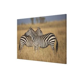 Plains Zebra Equus quagga pair grooming Masai Canvas Print