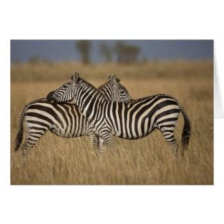 Plains Zebra (Equus quagga) pair grooming, Masai Cards