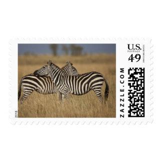 Plains Zebra (Equus quagga) pair grooming, Masai Stamps