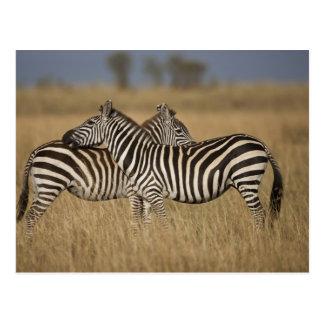 Plains Zebra (Equus quagga) pair grooming, Masai Postcards