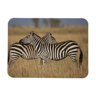 Plains Zebra (Equus quagga) pair grooming, Masai Rectangular Photo Magnet