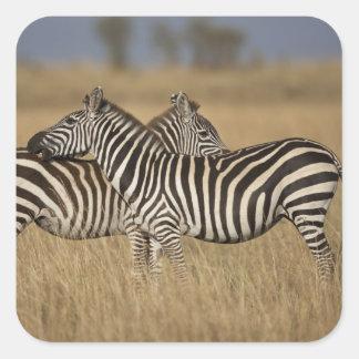 Plains Zebra (Equus quagga) pair grooming, Masai Square Sticker