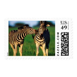 Plains Zebra (Equus Quagga) Pair Grooming, Tala Stamps