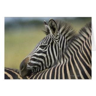 Plains Zebra (Equus quagga) pair, Haga Game Greeting Cards