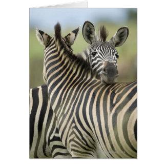 Plains Zebra (Equus quagga) pair, Haga Game Cards