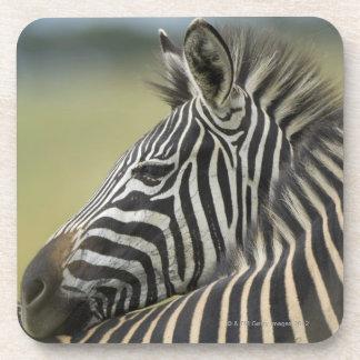 Plains Zebra (Equus quagga) pair, Haga Game Beverage Coaster