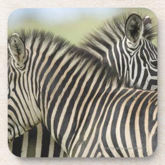 Plains Zebra (Equus quagga) pair, Haga Game Beverage Coasters