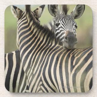 Plains Zebra (Equus quagga) pair, Haga Game Drink Coaster